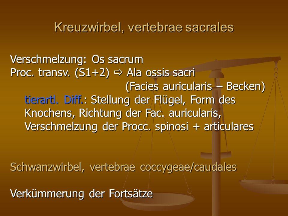 Kreuzwirbel, vertebrae sacrales