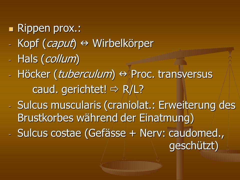 Rippen prox.: Kopf (caput)  Wirbelkörper. Hals (collum) Höcker (tuberculum)  Proc. transversus.