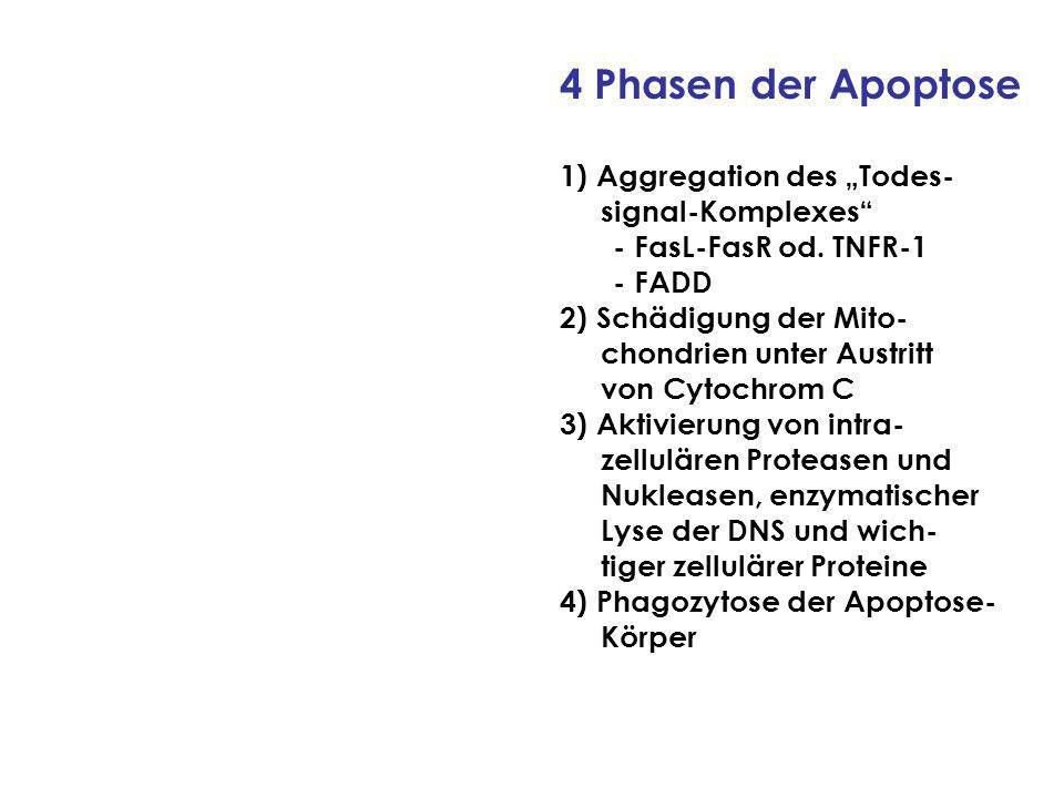 """4 Phasen der Apoptose 1) Aggregation des """"Todes- signal-Komplexes"""