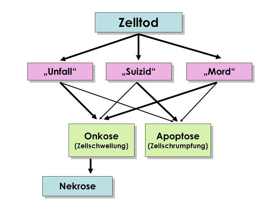 "Zelltod ""Unfall ""Suizid ""Mord Onkose Apoptose Nekrose"