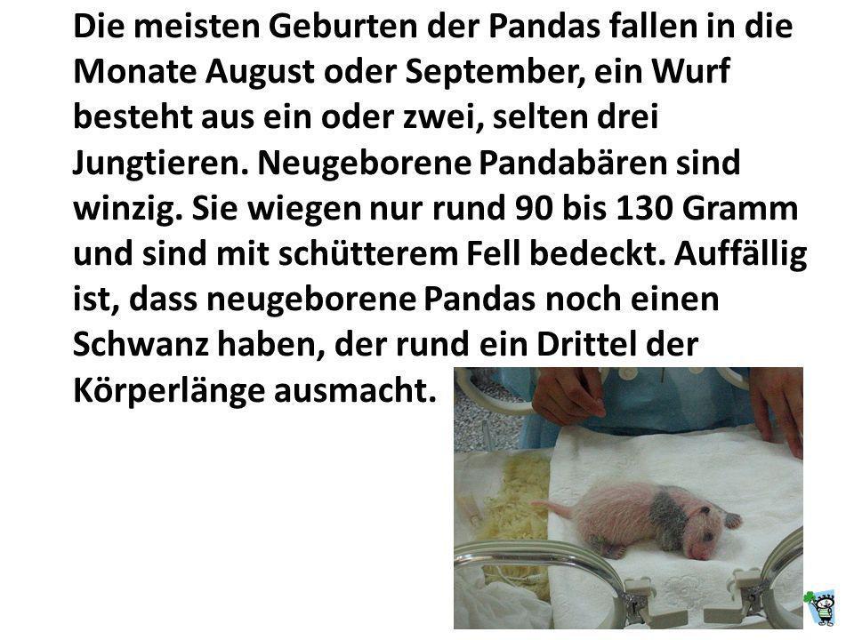 Die meisten Geburten der Pandas fallen in die Monate August oder September, ein Wurf besteht aus ein oder zwei, selten drei Jungtieren.