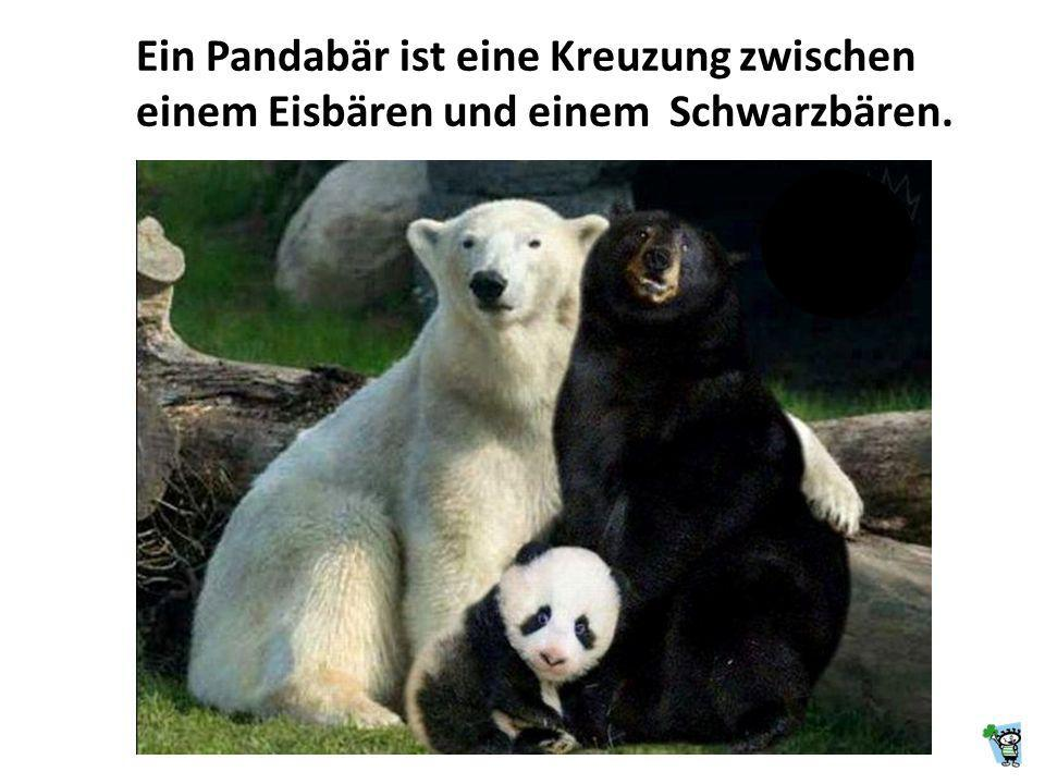 Ein Pandabär ist eine Kreuzung zwischen