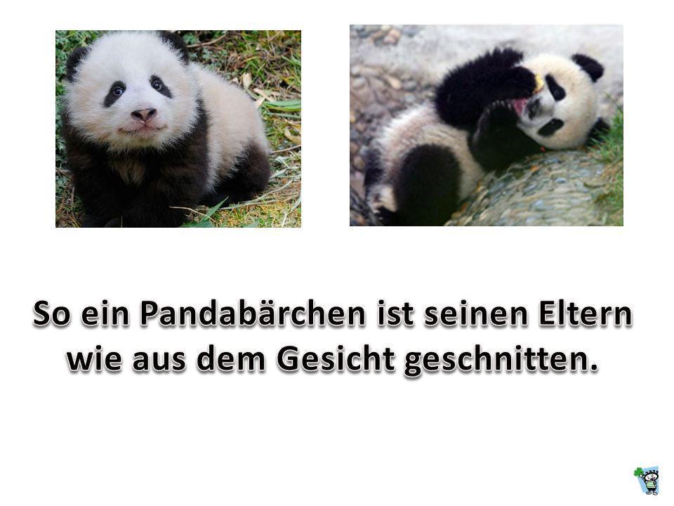 So ein Pandabärchen ist seinen Eltern wie aus dem Gesicht geschnitten.