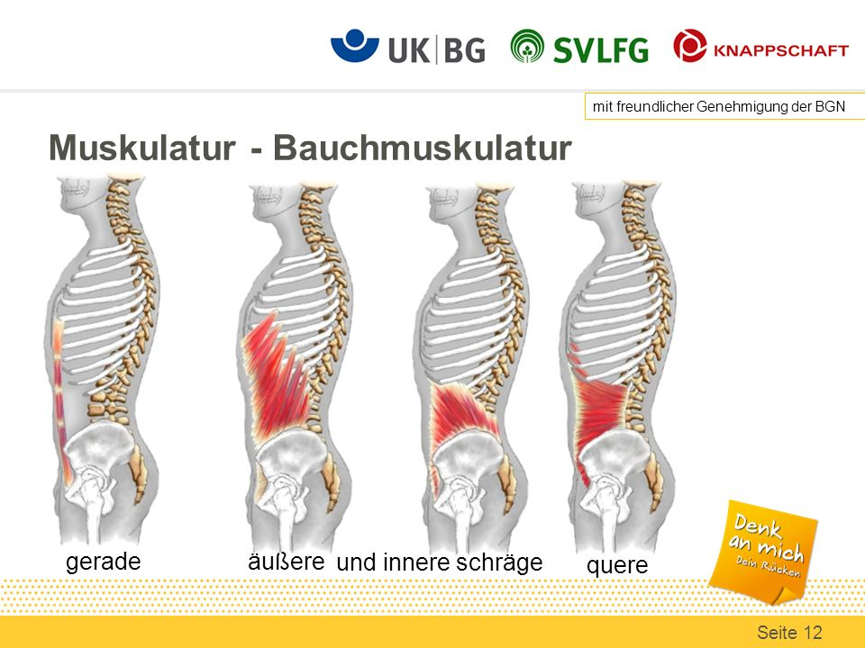 Muskulatur - Bauchmuskulatur