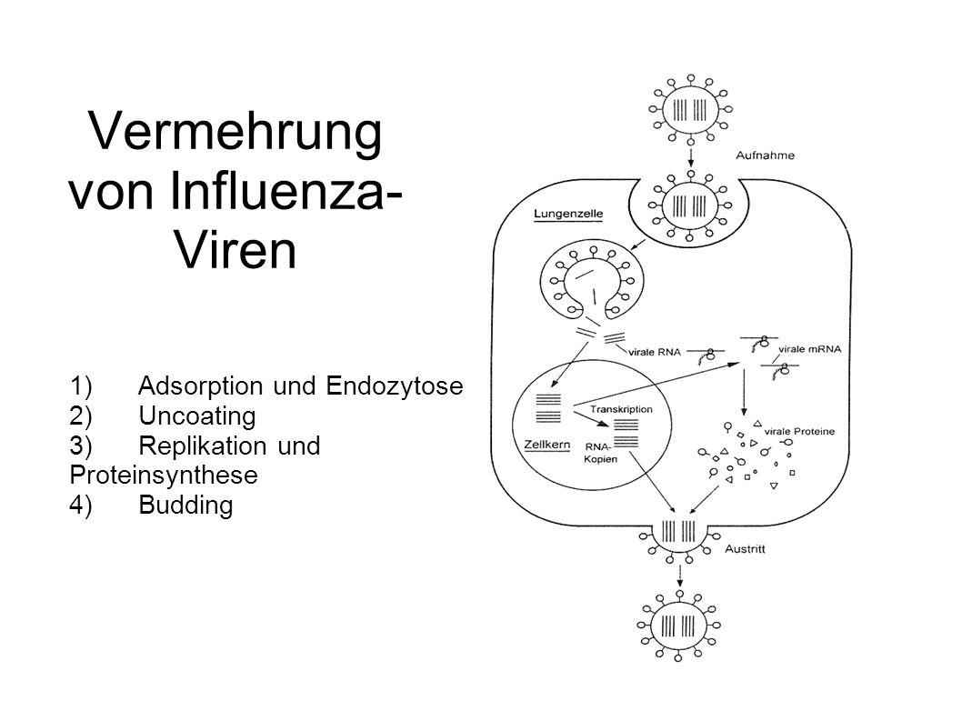 Vermehrung von Influenza-Viren