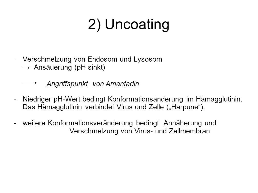 2) Uncoating - Verschmelzung von Endosom und Lysosom
