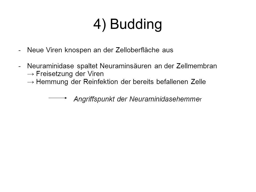 4) Budding - Neue Viren knospen an der Zelloberfläche aus