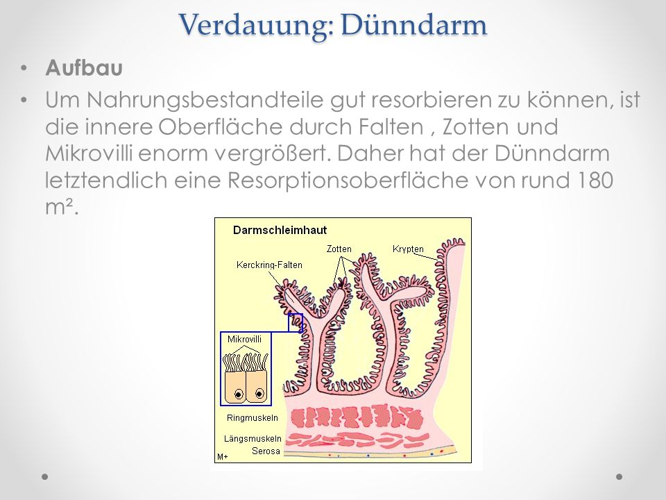 Verdauung: Dünndarm Aufbau