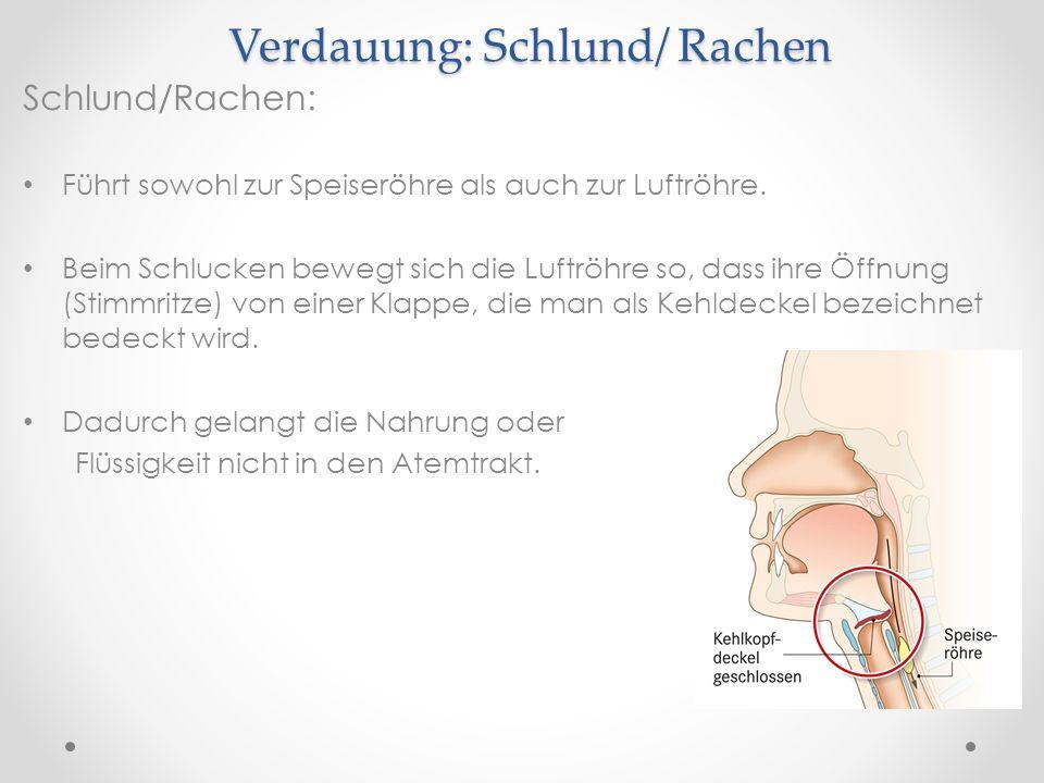 Verdauung: Schlund/ Rachen