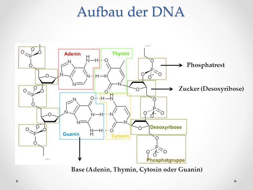 Aufbau der DNA Phosphatrest Zucker (Desoxyribose)
