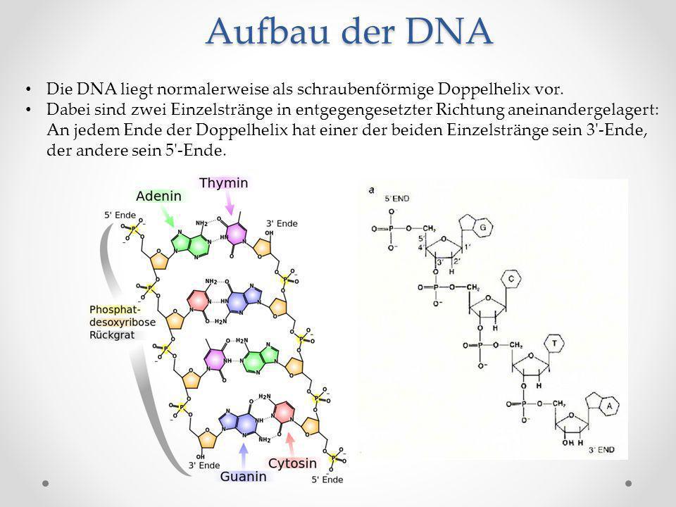 Aufbau der DNA Die DNA liegt normalerweise als schraubenförmige Doppelhelix vor.