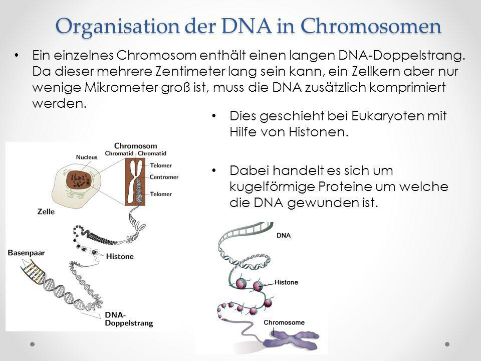 Organisation der DNA in Chromosomen