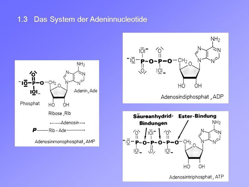 1.3 Das System der Adeninnucleotide