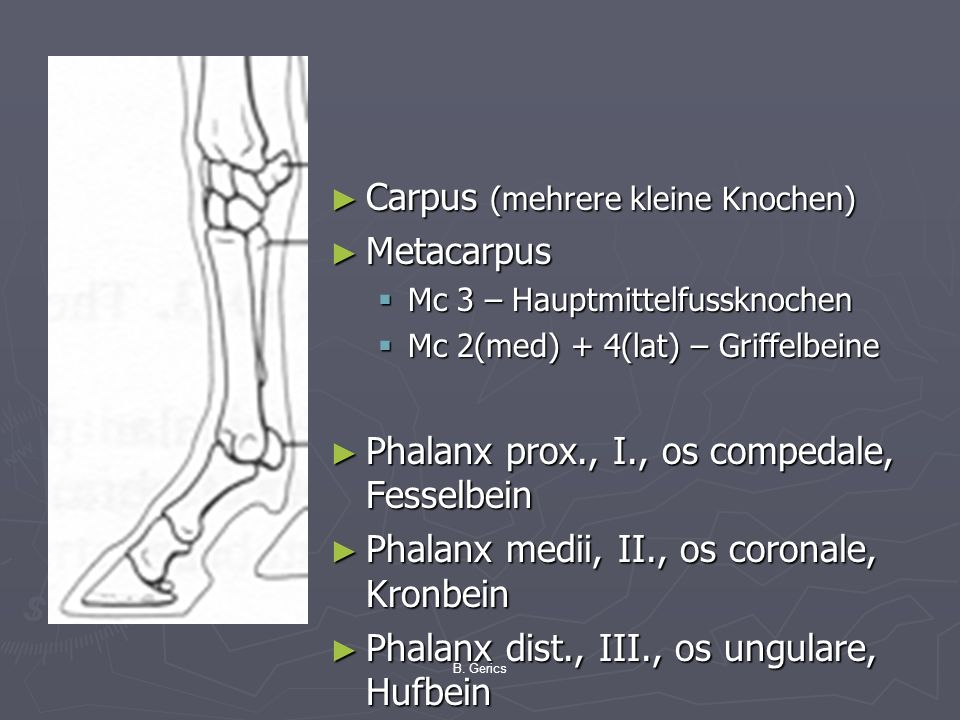 Carpus (mehrere kleine Knochen) Metacarpus