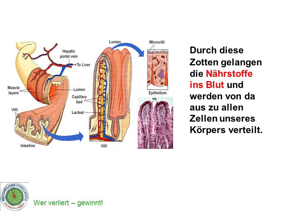 Durch diese Zotten gelangen die Nährstoffe ins Blut und werden von da aus zu allen Zellen unseres Körpers verteilt.