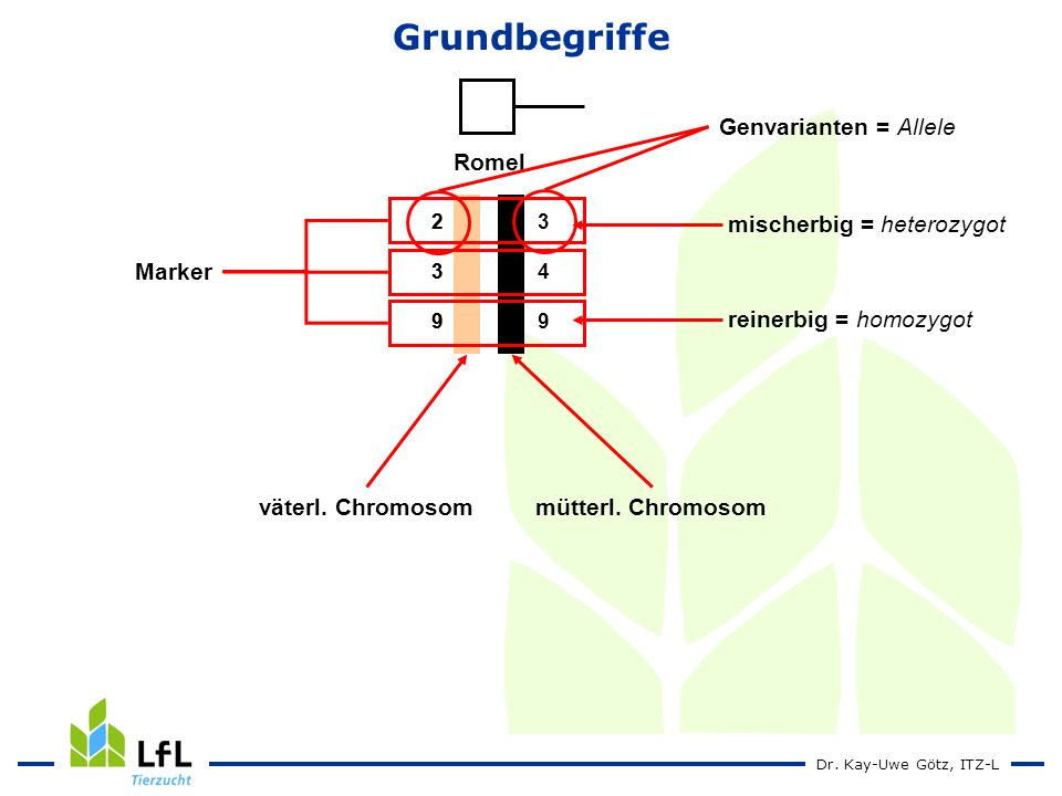 Grundbegriffe Romel Genvarianten = Allele Marker reinerbig = homozygot