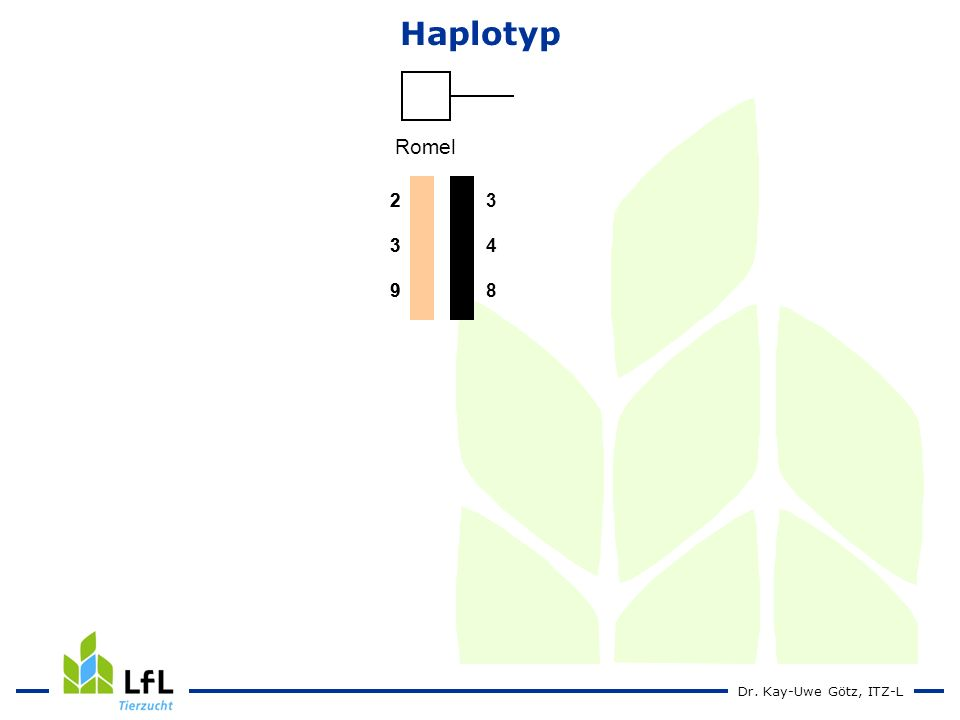 Haplotyp Romel 2 3 9 4 8