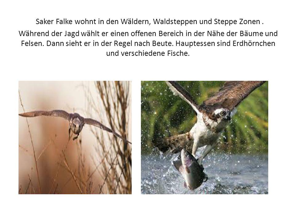 Saker Falke wohnt in den Wäldern, Waldsteppen und Steppe Zonen