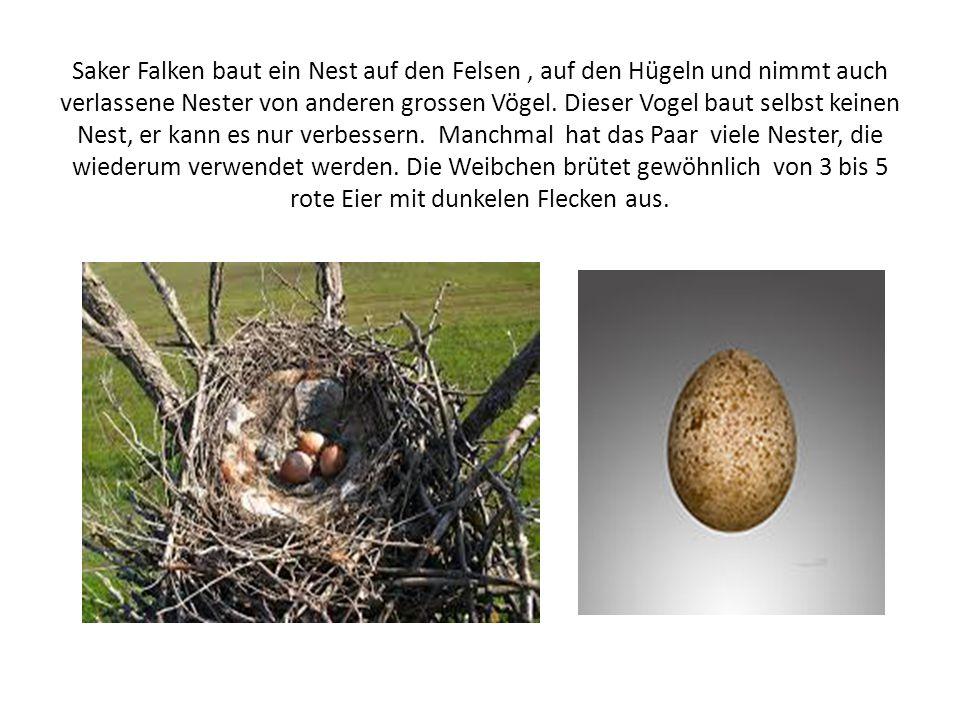 Saker Falken baut ein Nest auf den Felsen , auf den Hügeln und nimmt auch verlassene Nester von anderen grossen Vögel.