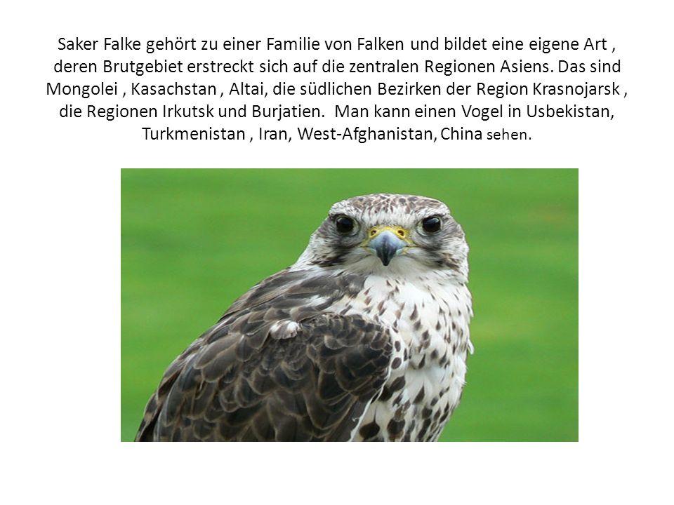 Saker Falke gehört zu einer Familie von Falken und bildet eine eigene Art , deren Brutgebiet erstreckt sich auf die zentralen Regionen Asiens.