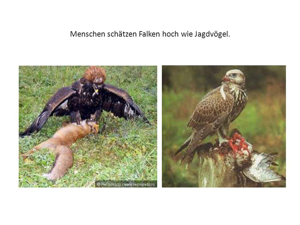 Menschen schätzen Falken hoch wie Jagdvögel.
