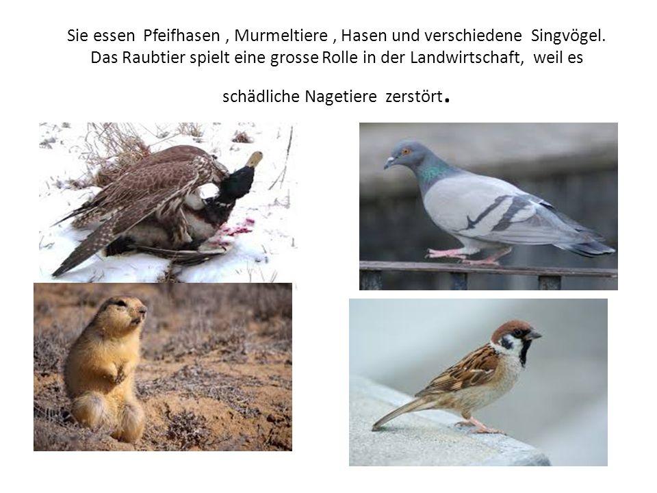 Sie essen Pfeifhasen , Murmeltiere , Hasen und verschiedene Singvögel