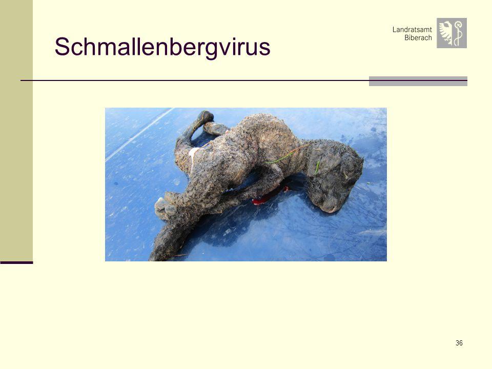 Schmallenbergvirus