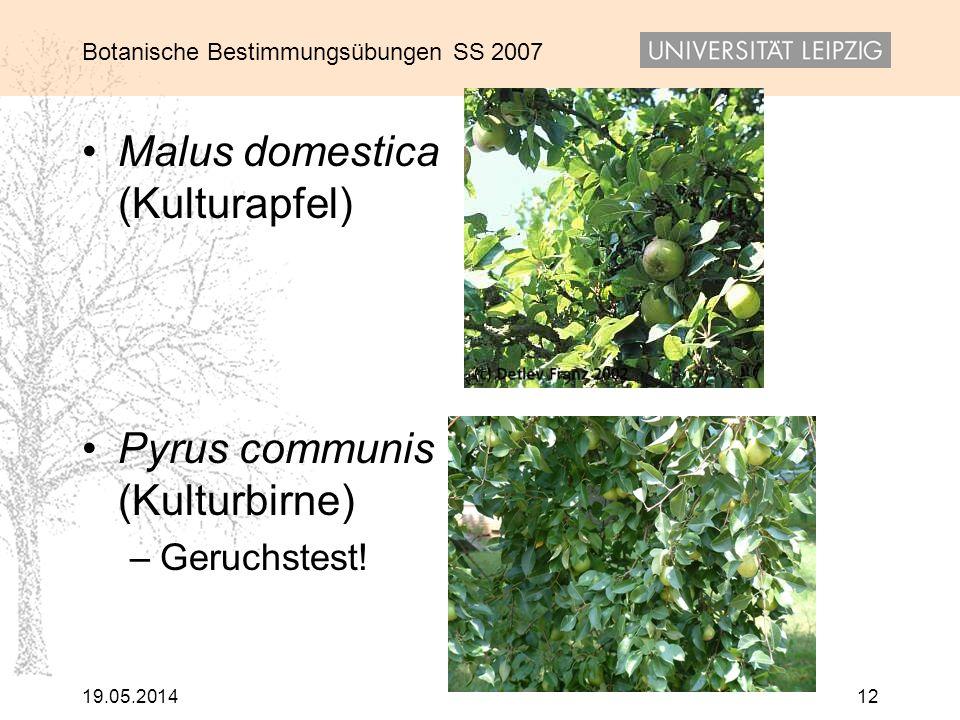 Malus domestica (Kulturapfel)