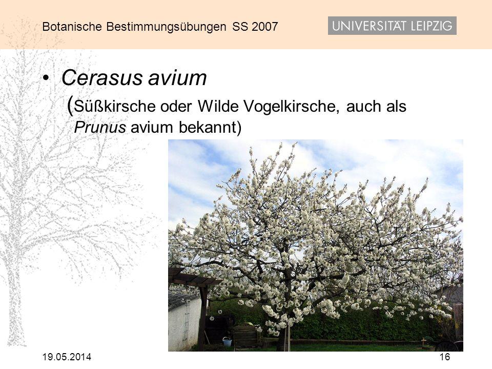 Cerasus avium (Süßkirsche oder Wilde Vogelkirsche, auch als Prunus avium bekannt)