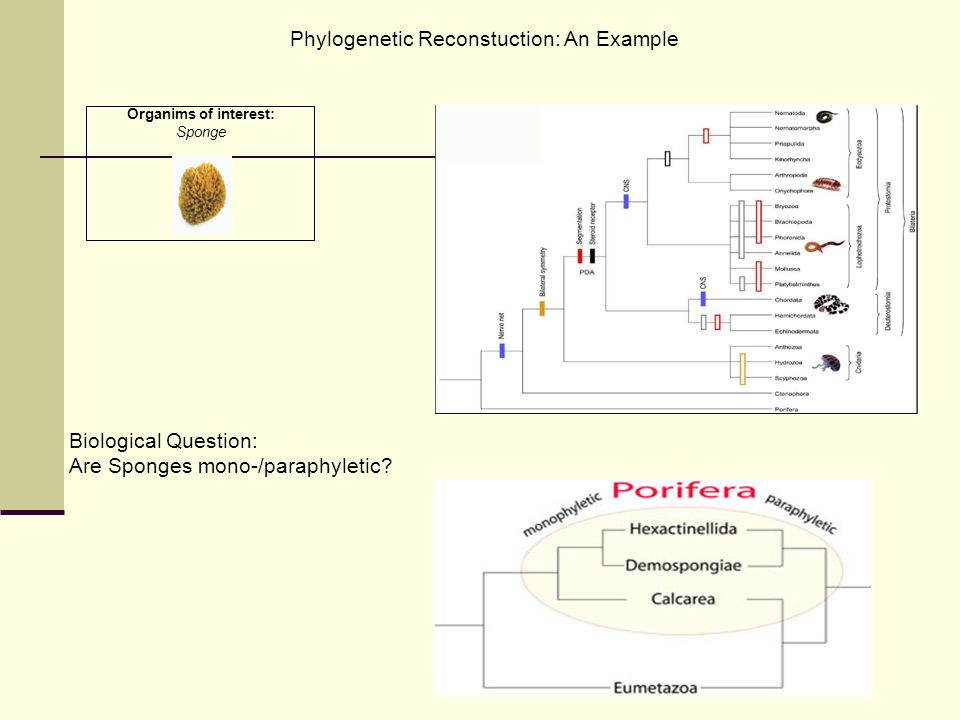 Phylogenetic Reconstuction: An Example