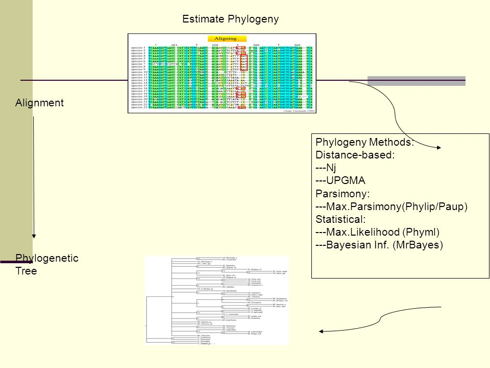 Estimate Phylogeny Alignment. Phylogeny Methods: Distance-based: ---Nj. ---UPGMA. Parsimony: ---Max.Parsimony(Phylip/Paup)