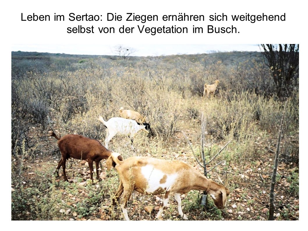 Leben im Sertao: Die Ziegen ernähren sich weitgehend selbst von der Vegetation im Busch.