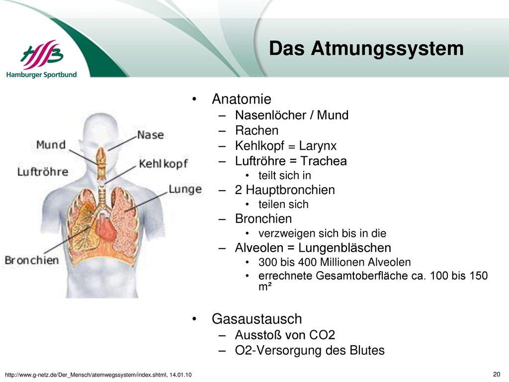 Berühmt Anatomie Und Histologie Des Atmungssystems Fotos - Anatomie ...