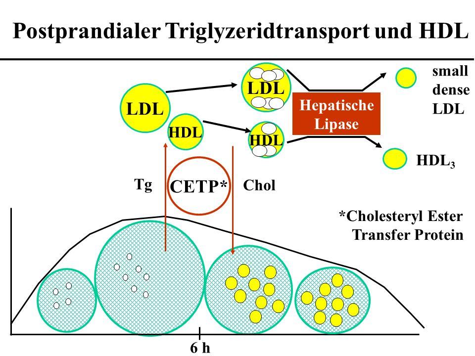 Postprandialer Triglyzeridtransport und HDL