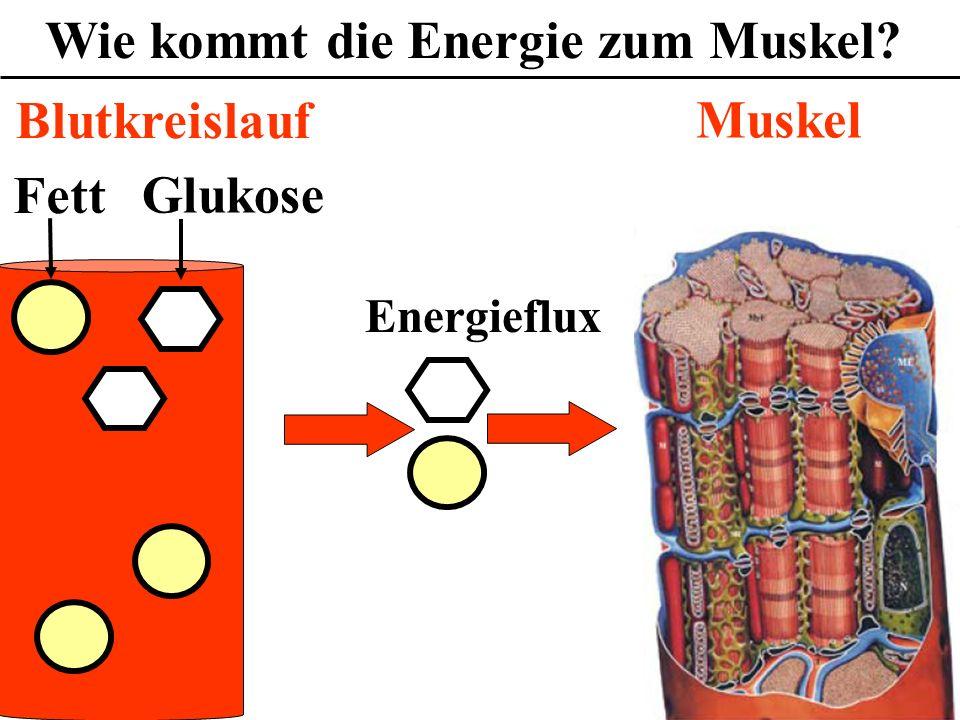 Wie kommt die Energie zum Muskel