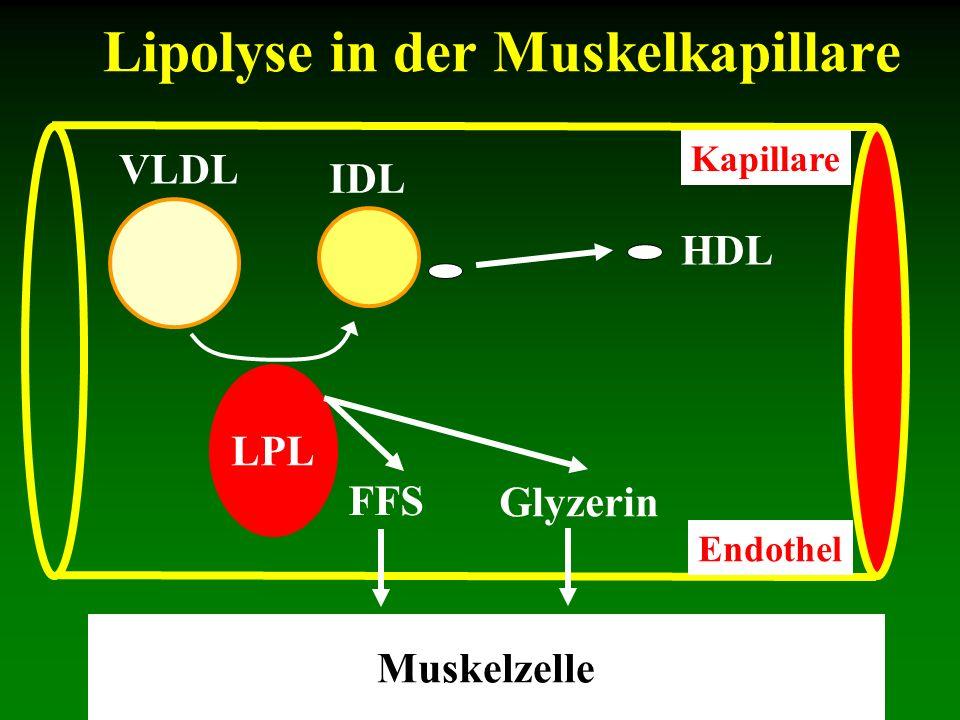 Lipolyse in der Muskelkapillare