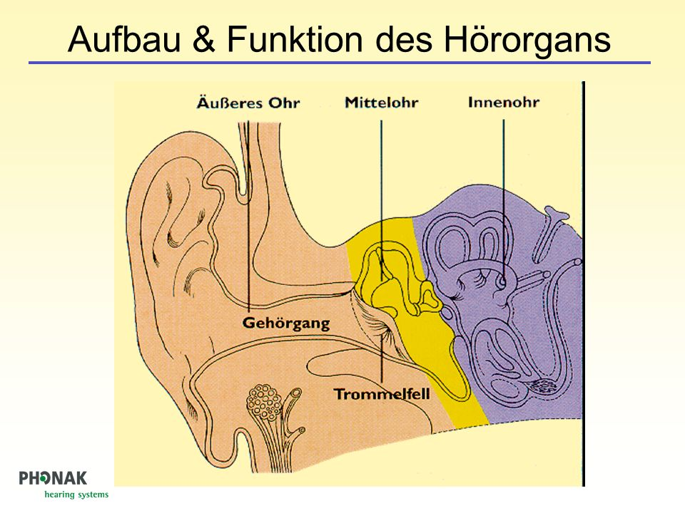 Aufbau & Funktion des Hörorgans