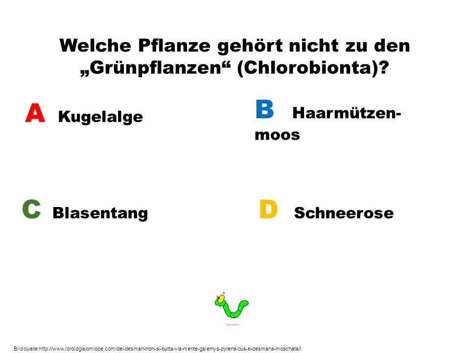 """Welche Pflanze gehört nicht zu den """"Grünpflanzen (Chlorobionta)"""