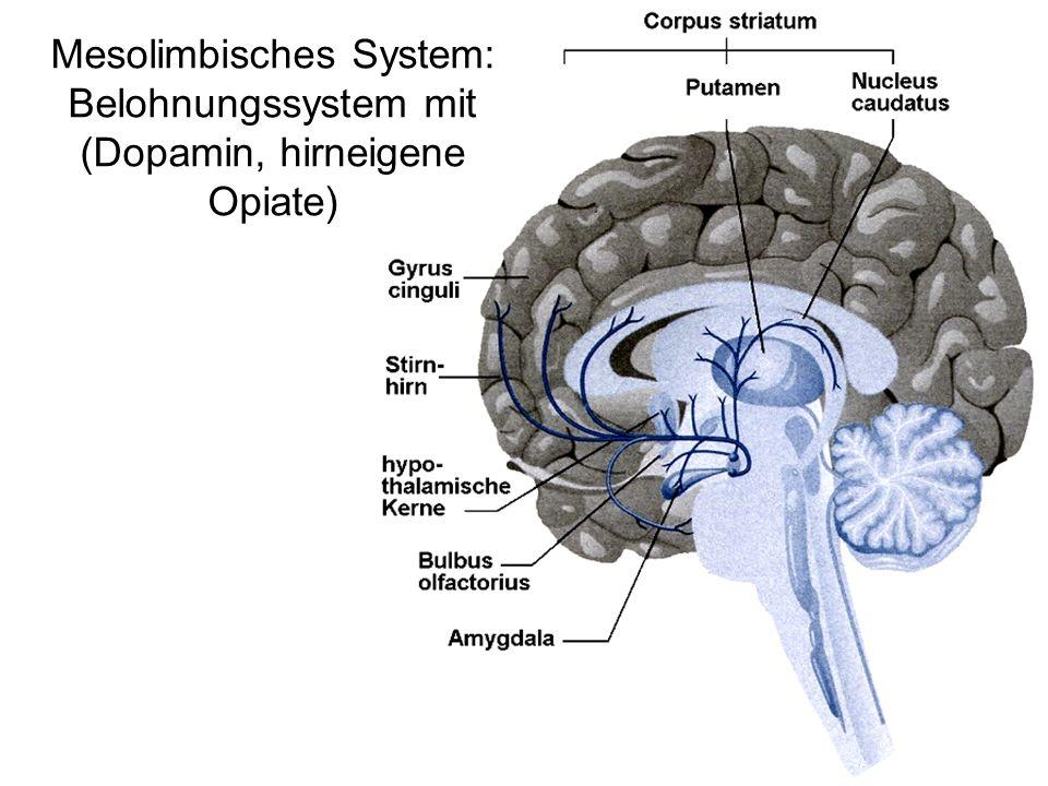 Niedlich Limbische System Anatomie Ideen - Menschliche Anatomie ...