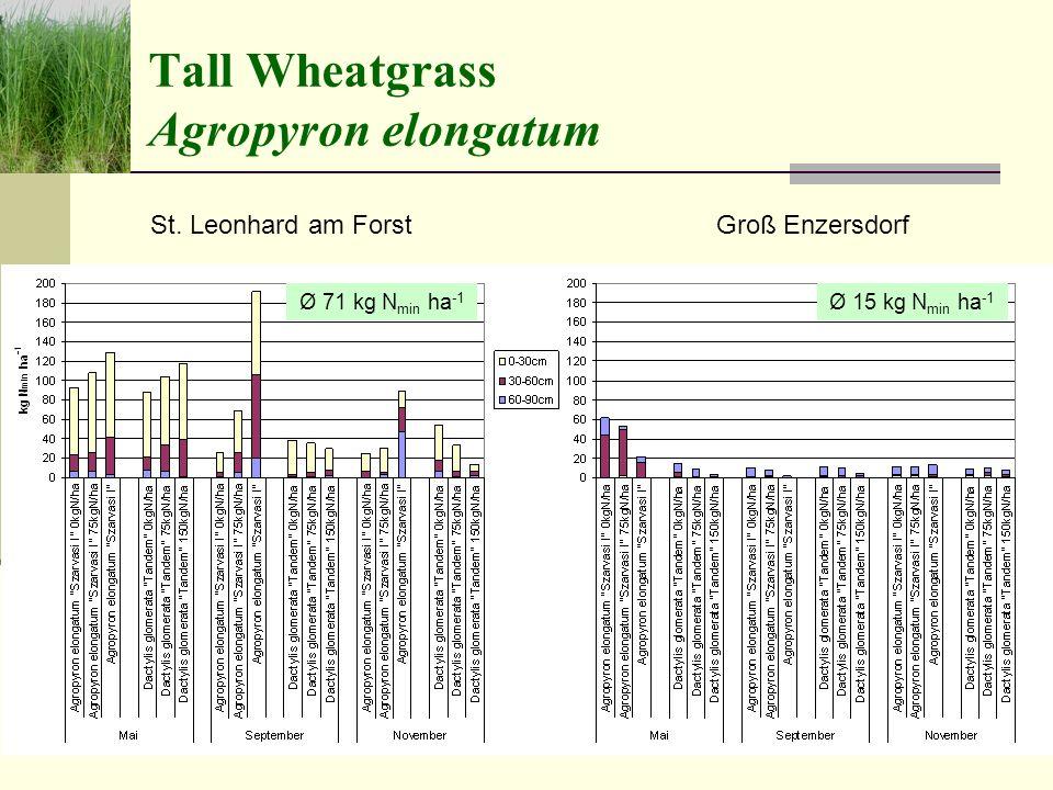 Tall Wheatgrass Agropyron elongatum