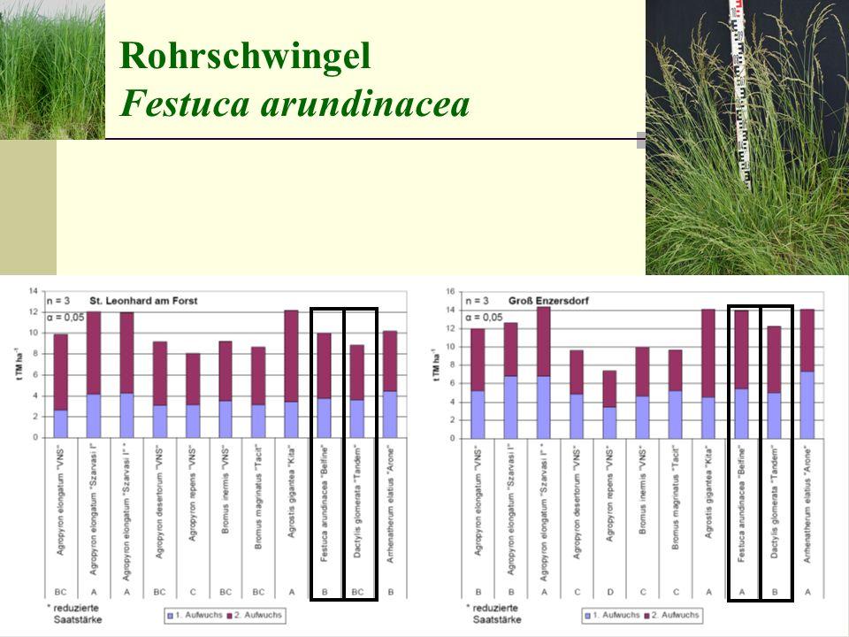 Rohrschwingel Festuca arundinacea raublättrige Wildform