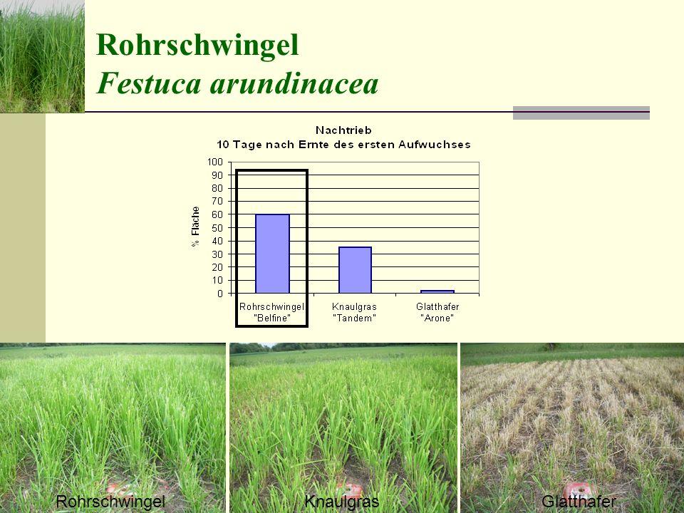 Rohrschwingel Festuca arundinacea Rohrschwingel Knaulgras Glatthafer