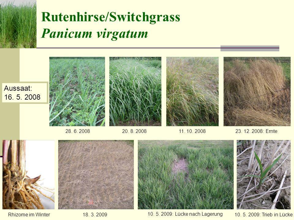 Rutenhirse/Switchgrass Panicum virgatum