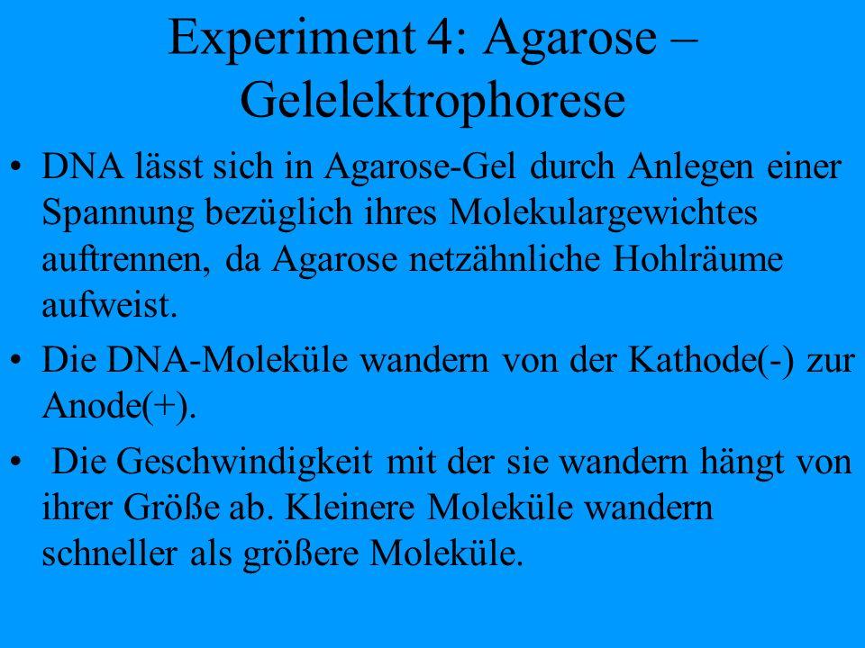 Experiment 4: Agarose – Gelelektrophorese