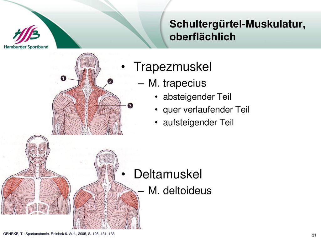 Ungewöhnlich Oberflächliche Muskeln Des Körpers Ideen - Anatomie ...