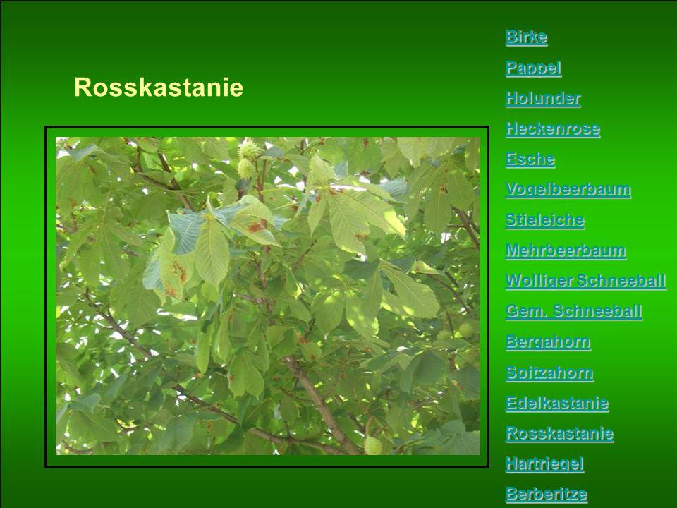 Rosskastanie Birke Pappel Holunder Heckenrose Esche Vogelbeerbaum