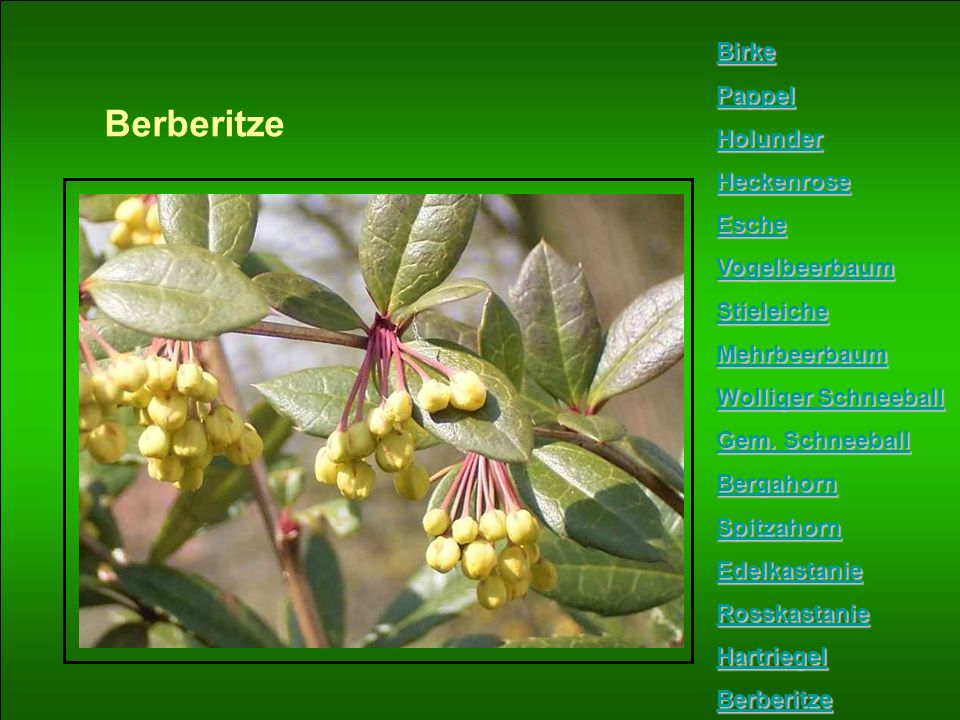 Berberitze Birke Pappel Holunder Heckenrose Esche Vogelbeerbaum