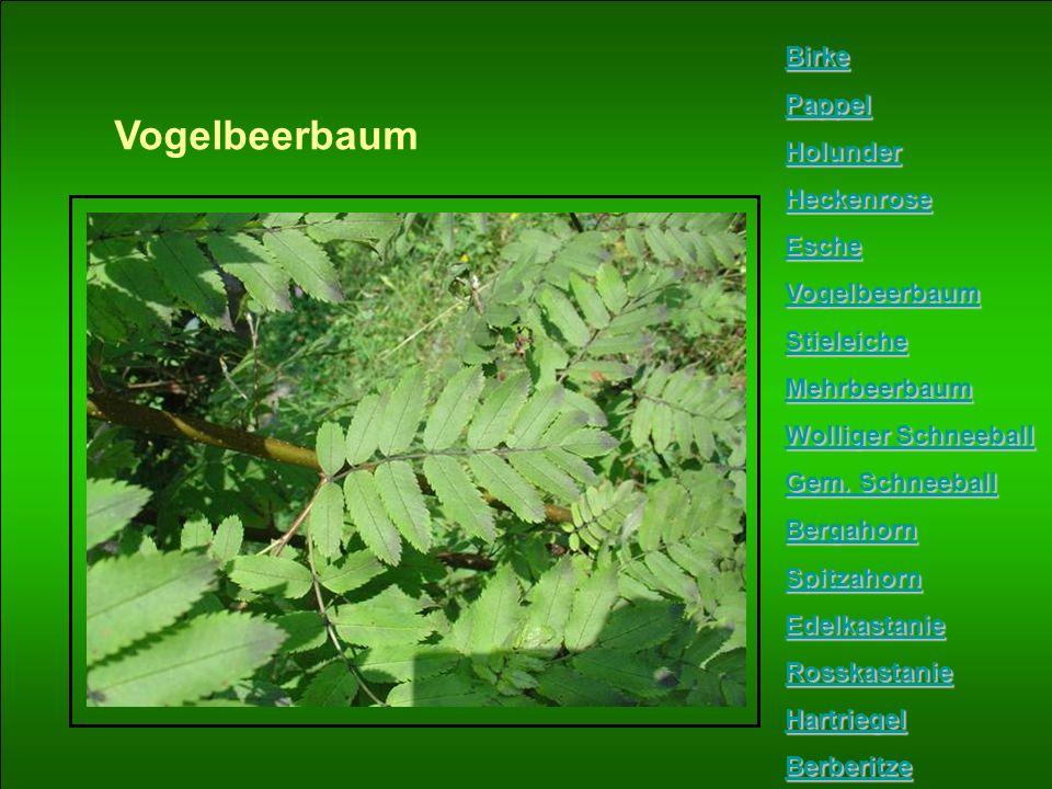 Vogelbeerbaum Birke Pappel Holunder Heckenrose Esche Vogelbeerbaum