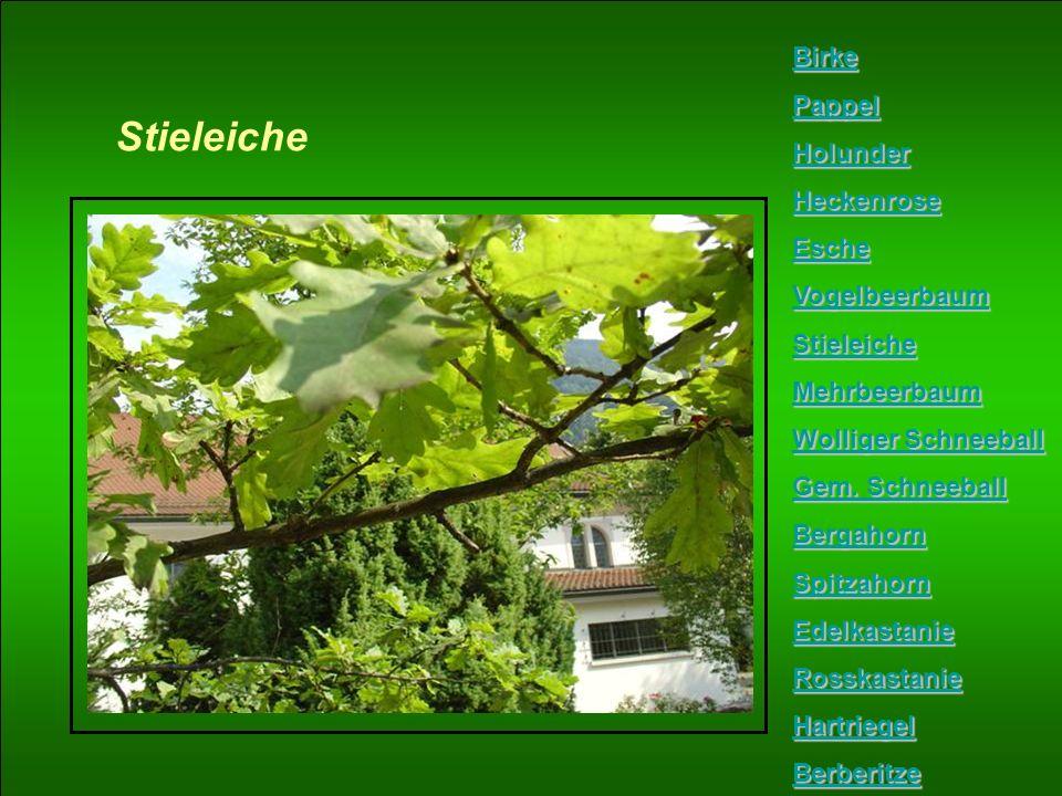 Stieleiche Birke Pappel Holunder Heckenrose Esche Vogelbeerbaum