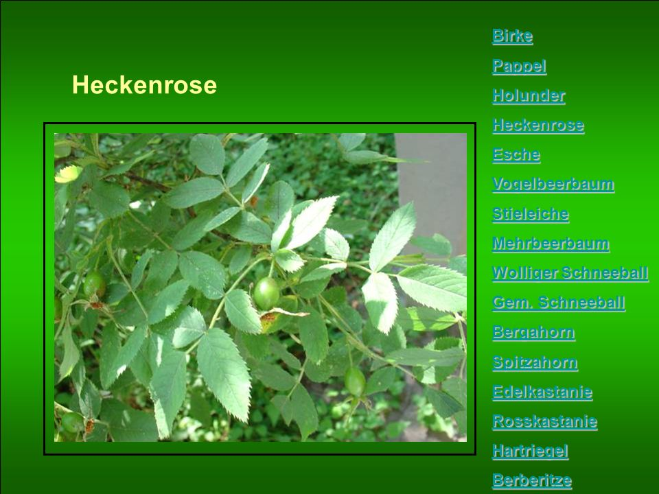 Heckenrose Birke Pappel Holunder Heckenrose Esche Vogelbeerbaum